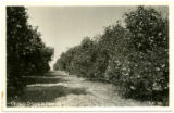 Orange Grove in Florida