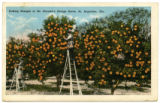 Picking oranges in Dr. Garnett's  orange grove, St. Augustine, Fla.