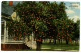 Orange tree on front lawn of a private residence, Florida