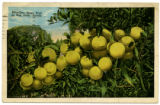 Citrus Postcards022a