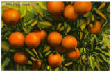 Golden Florida oranges