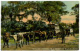 Hauling oranges in a primitive way, Florida