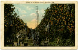 Scene in an orange grove, Florida